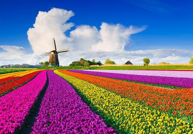 Tulipaner på mark i Holland