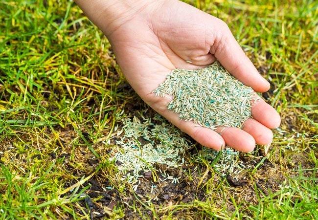 Ukrudt i græsplænen: Forny din græsplæne