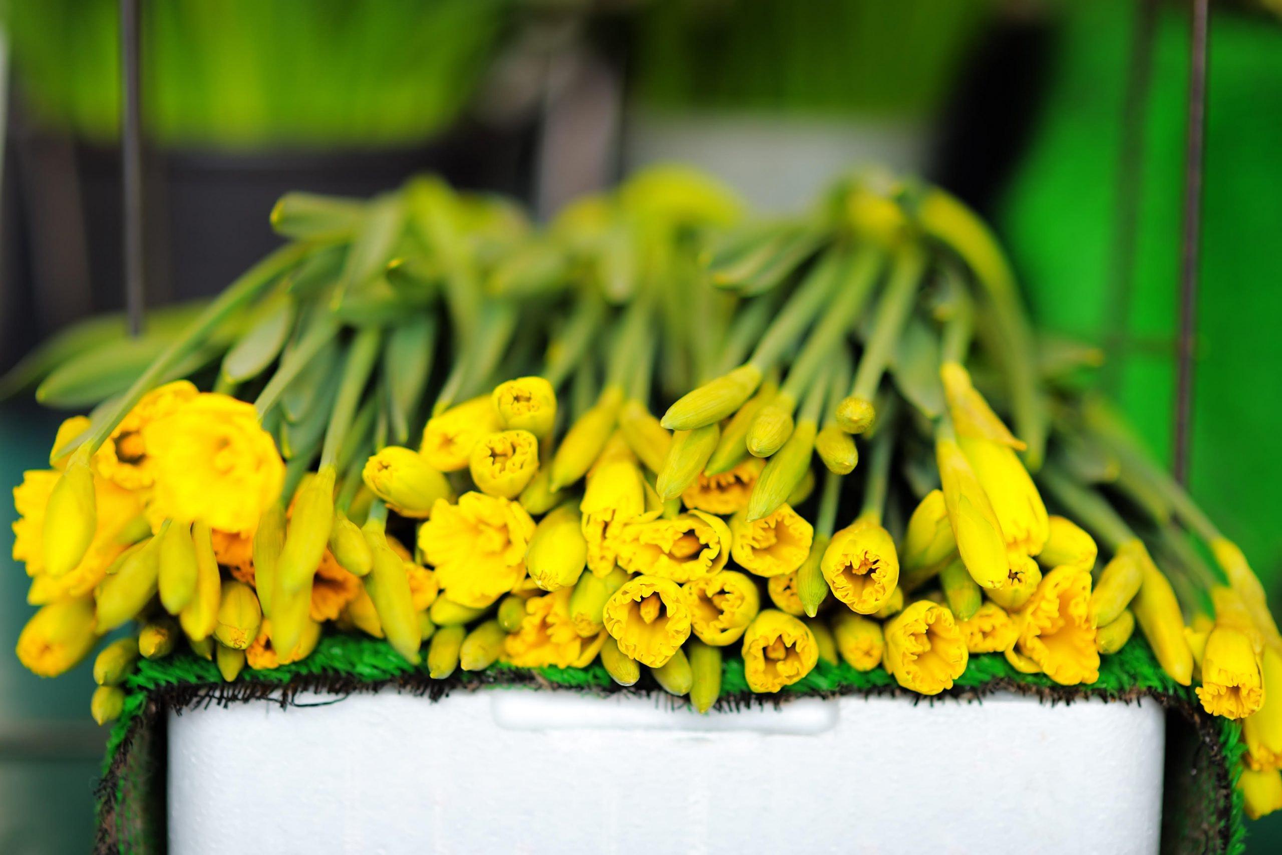 5 tips: Sådan giver du dine påskeliljer et længere liv