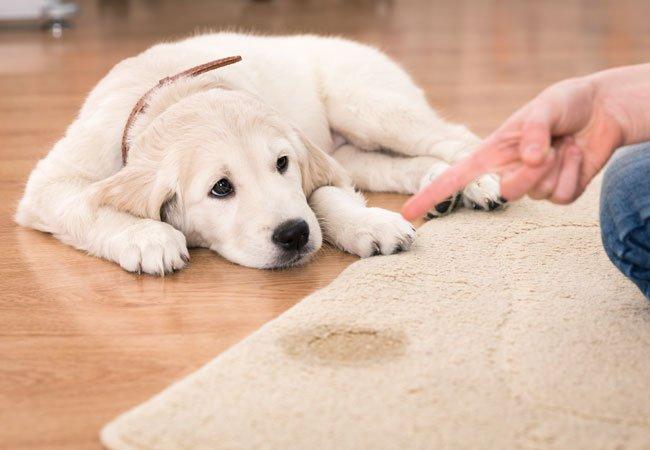 Urinveisinfeksjon hos hund- hund tisser inne