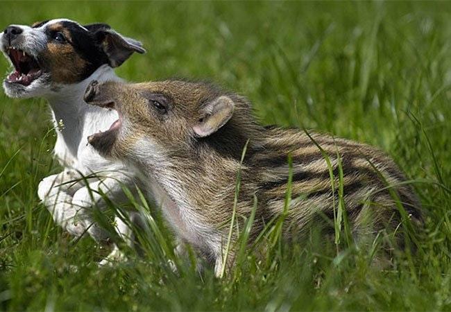 Usædvanlige venskaber mellem dyr