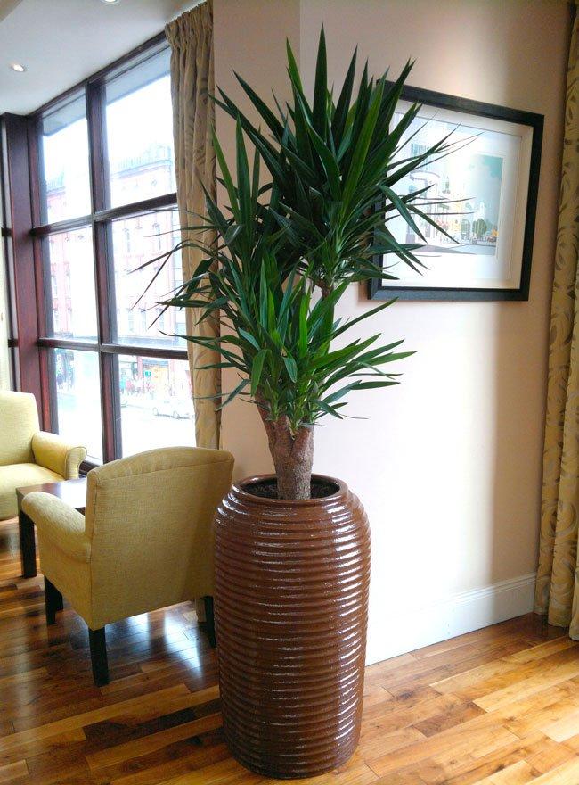 Yucca palme i stor krukke i stue.