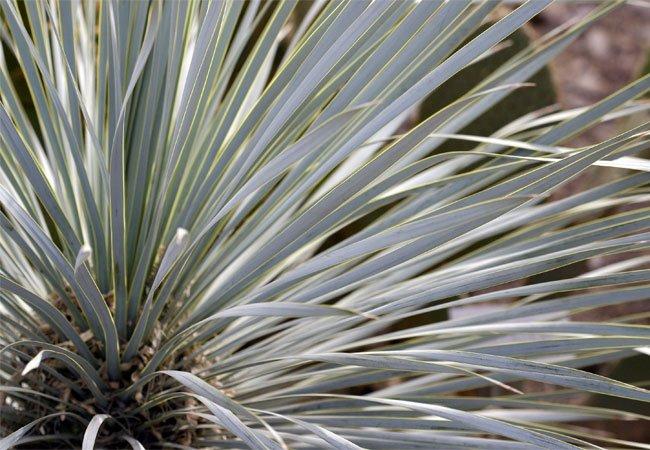 Yucca palme (Yucca rostrata) i krukker og potter