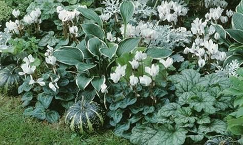 Hvite alpefioler: Et elegant bed i hvitt og grønt med alpefioler og hosta.