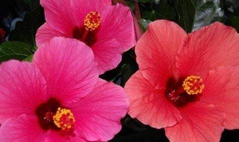 Frodig blomst: Hawaiiblomsten er fargesterk og frodig.