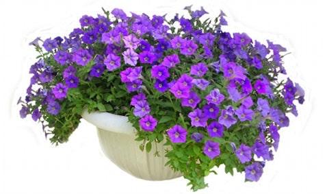 Rik blomsterflor: For å holde veksten tett og blomsterrik trenger sommerblomstene mye næring.