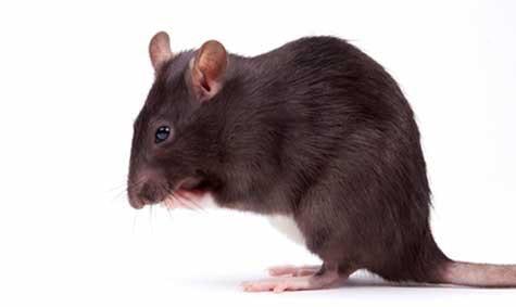 Gnagerplager: Mus og rotter kan skade boligen med gnagingen sin.