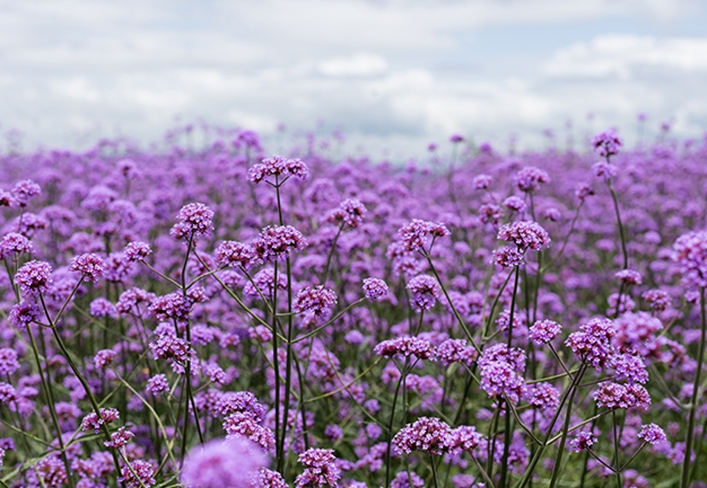 Purple Verbena Field In Soft Fogus