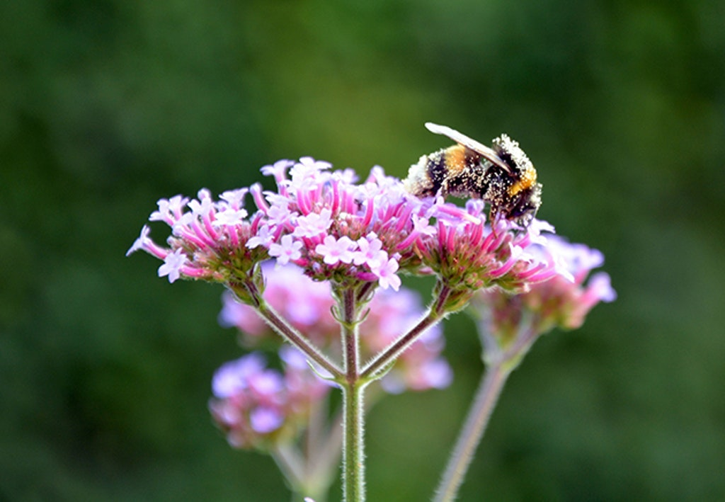 Bee On A Verbena Plant