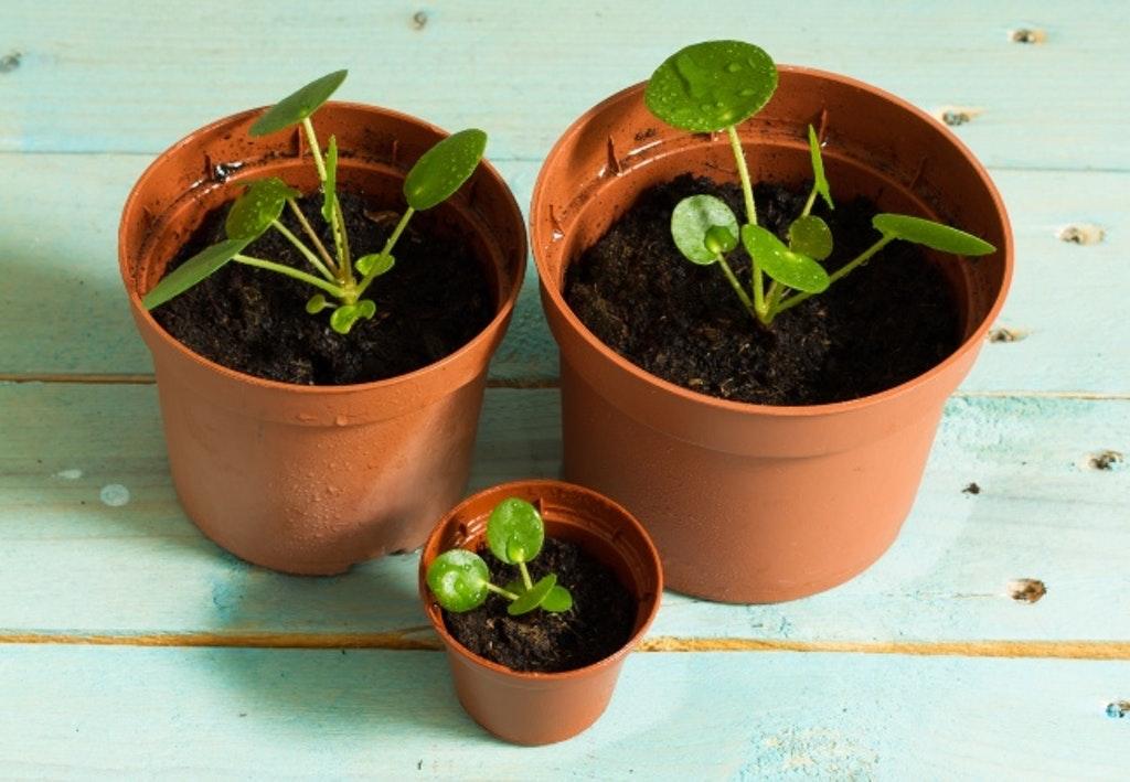 Nyplantede Pilea Babyer