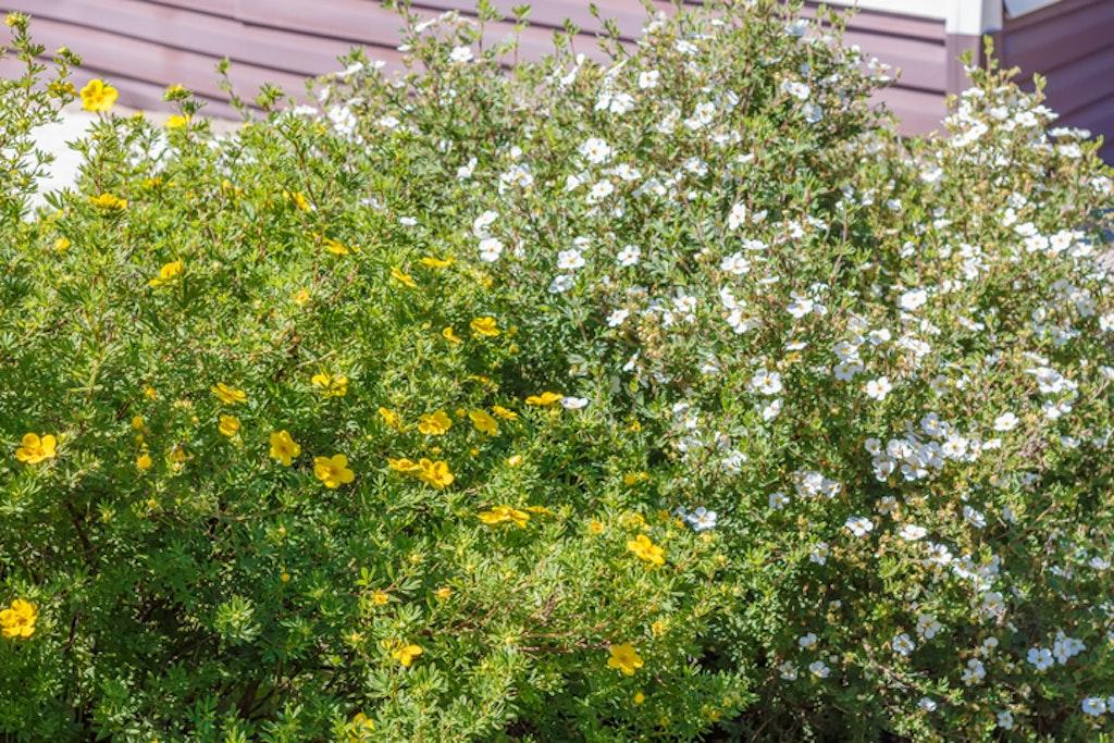 Potentilla er en blomstrende busk som passer godt i hagen