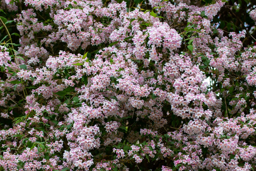 Fagerbusk (Kolkwitzia amabilis)