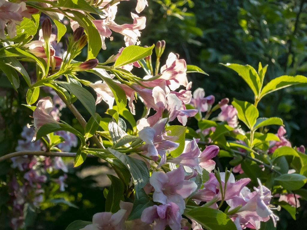 Hageklokkebusk (Weigela hybrida) - blomstrende busk