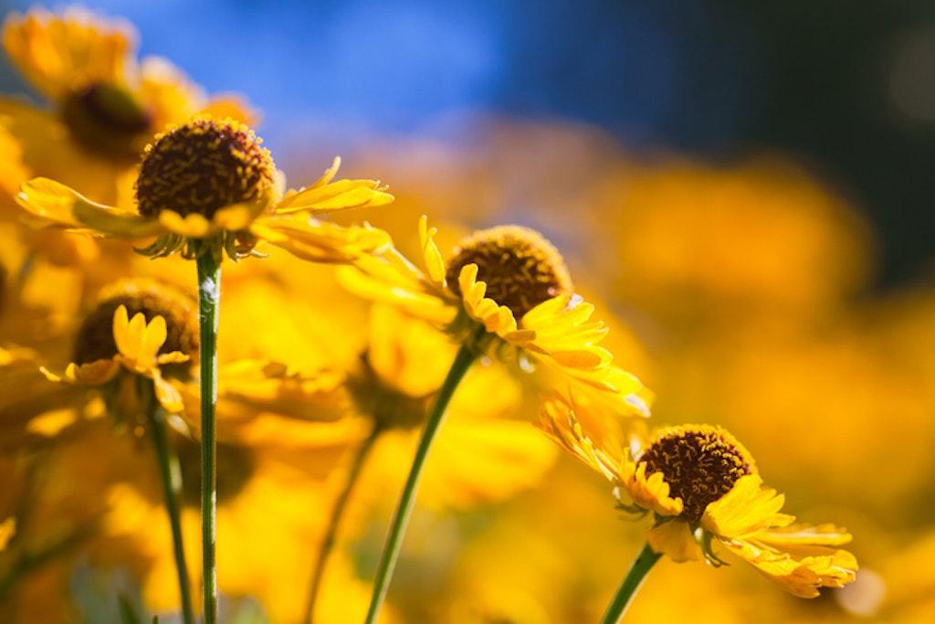Høstsolbrud - Helenium Autumnale Group