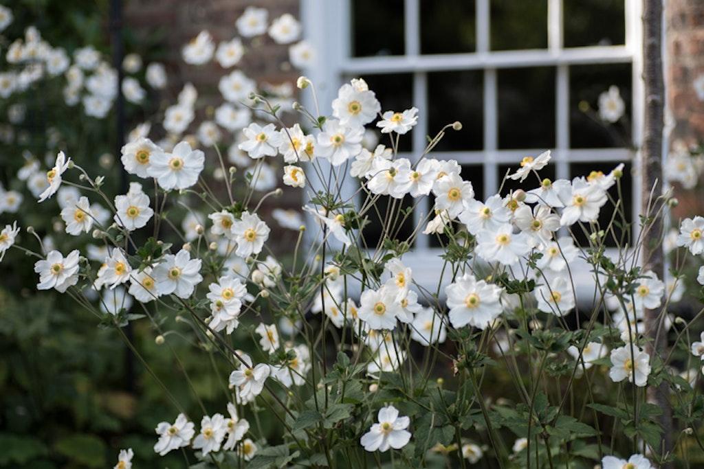 Høstanemone er en populær blomst i norske hager.