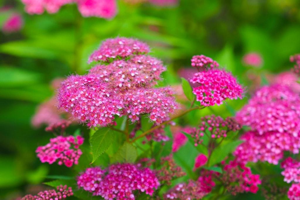 Japanspirea er en vakker blomstrende busk