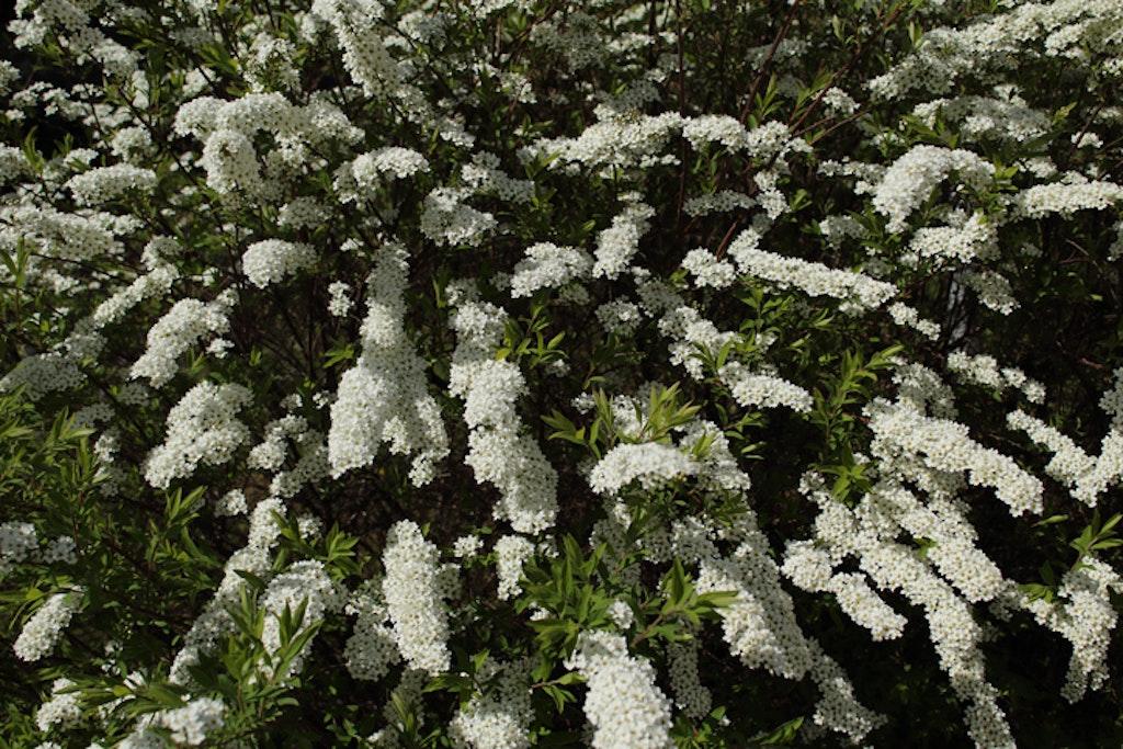 Brudespirea er en flott blomstrende buskk / hekk