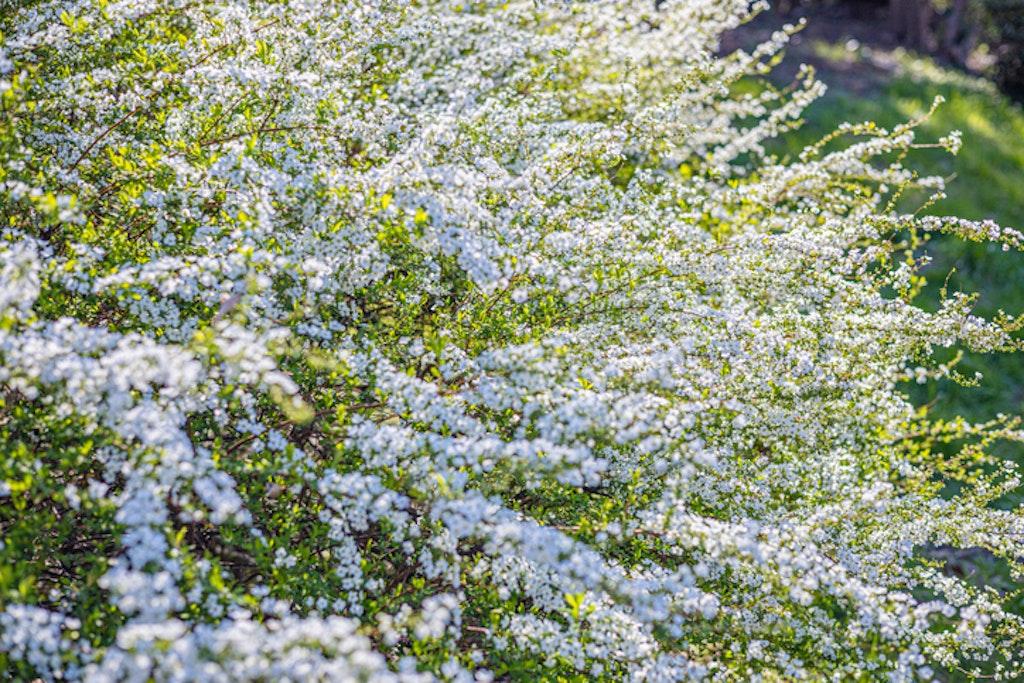 Rognspirea er en stor busk / hekk