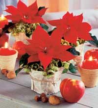 En flott julestjerne er for mange selve juleblomsten. (Foto: Opplysningskontoret for blomster og planter)