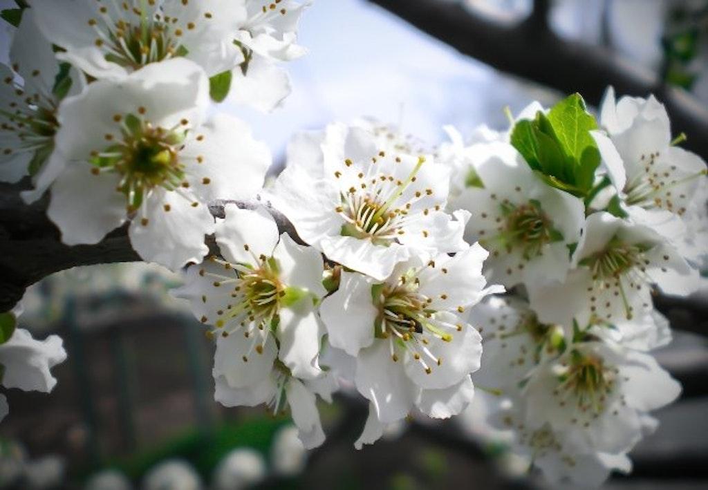 plommetre blomstring