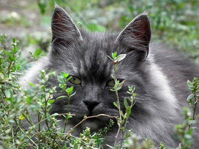 Sibirsk katt - populær katt