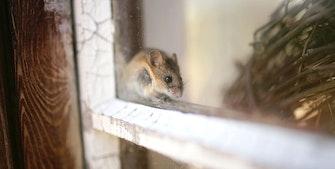Hvordan unngå og bli kvitt mus i huset