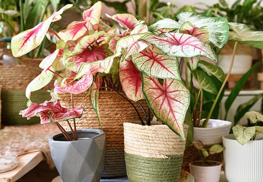 Plante med rosa blader