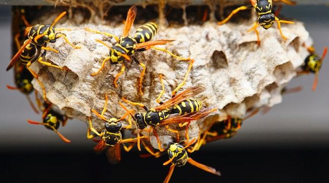 Mange hvepse omkring hvepsebo
