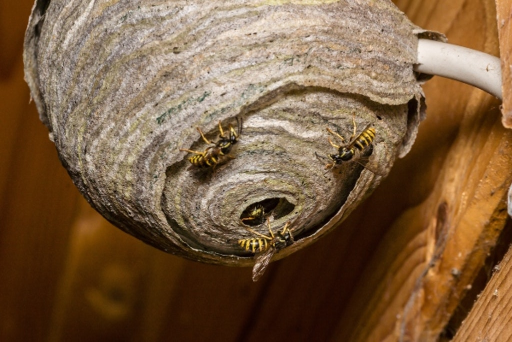 Hvepsebo med hvepse