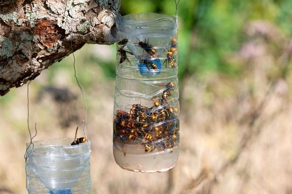 Hvepsefælde med hvepse