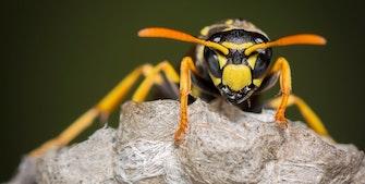Farlig hveps