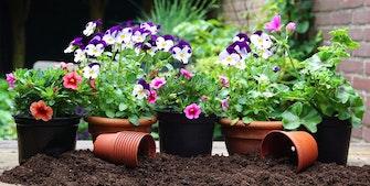 Blomster i krukker