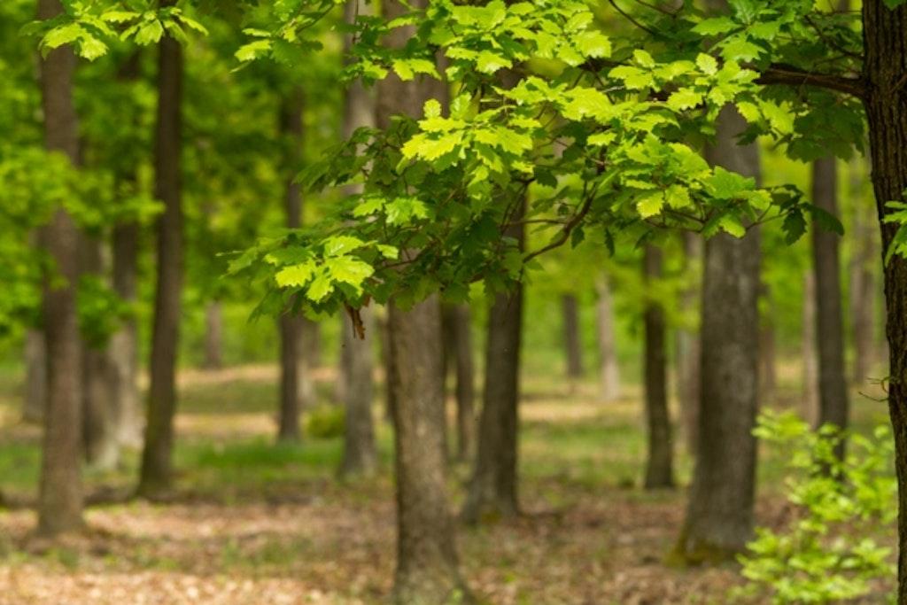 Egetræsskov