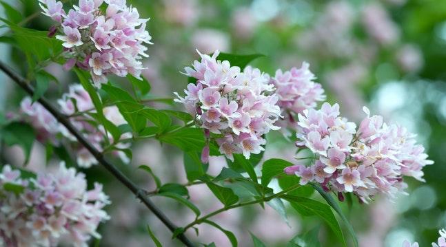 Busk med lyserøde blomster