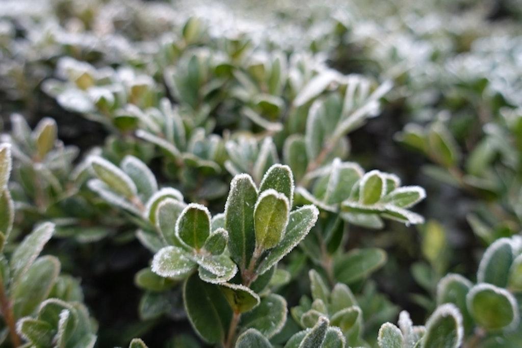 Frost på busk