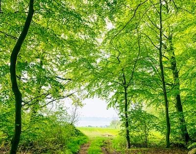 skov med bøgetræer