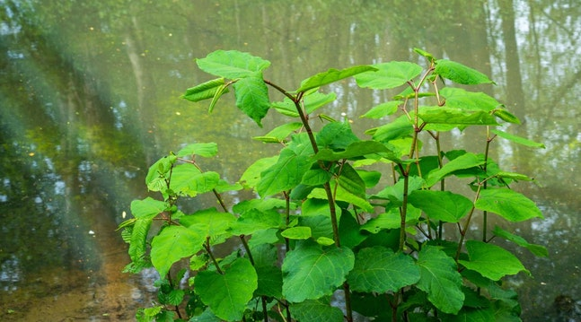 Invasive planter i skov