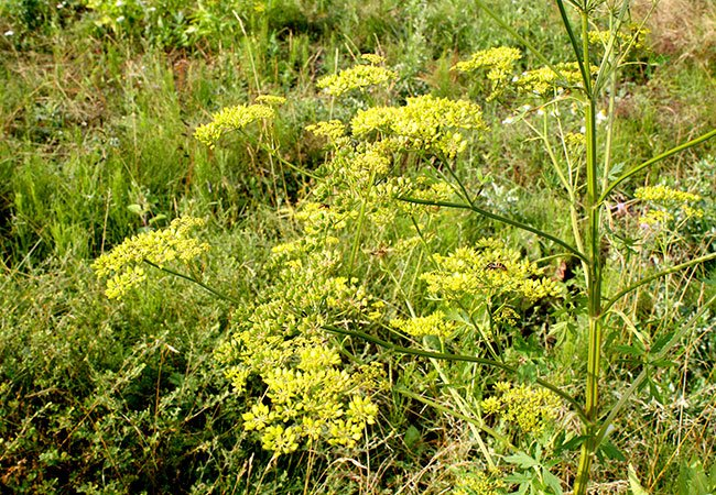 Pastinak - den vilde invasive og giftige plante.