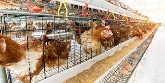 Æglægningshøner i bur