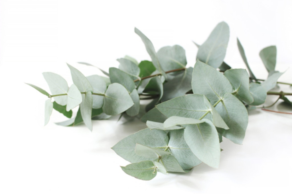 De velduftende eucalyptusgrene egner sig godt til tørring. Både alene og som evighedsblomster i buketform.