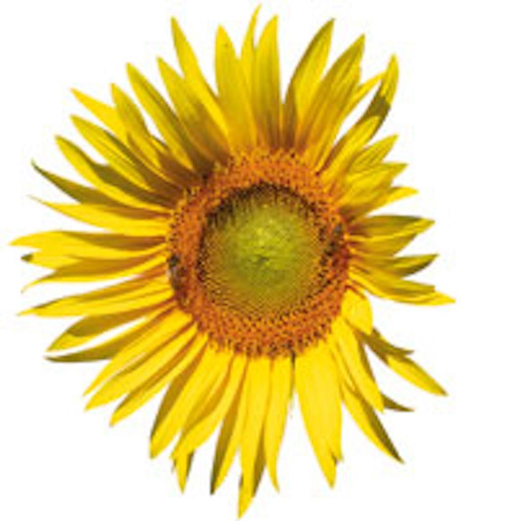 Solsikkekerner kan blive til mange solsikker