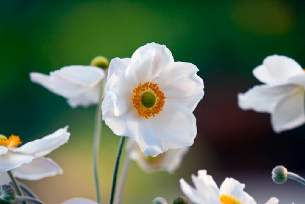 Høstanemone Honoribe Jobert med sine hvide kronblade.