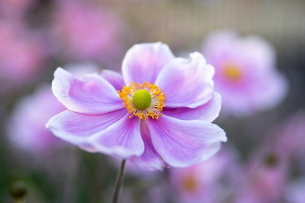 Høstanemone Königin Charlotte i sin flotte, lysviolette og hvide farve.