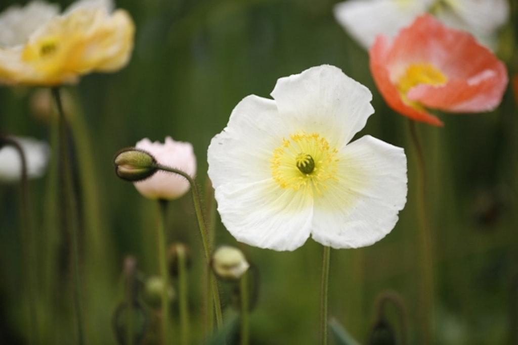 Hvid valmue på blomstereng