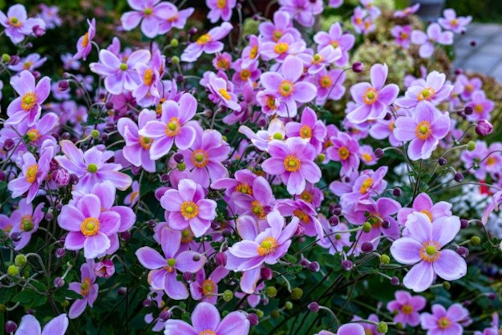 Bed af violette japanske høstanemoner.