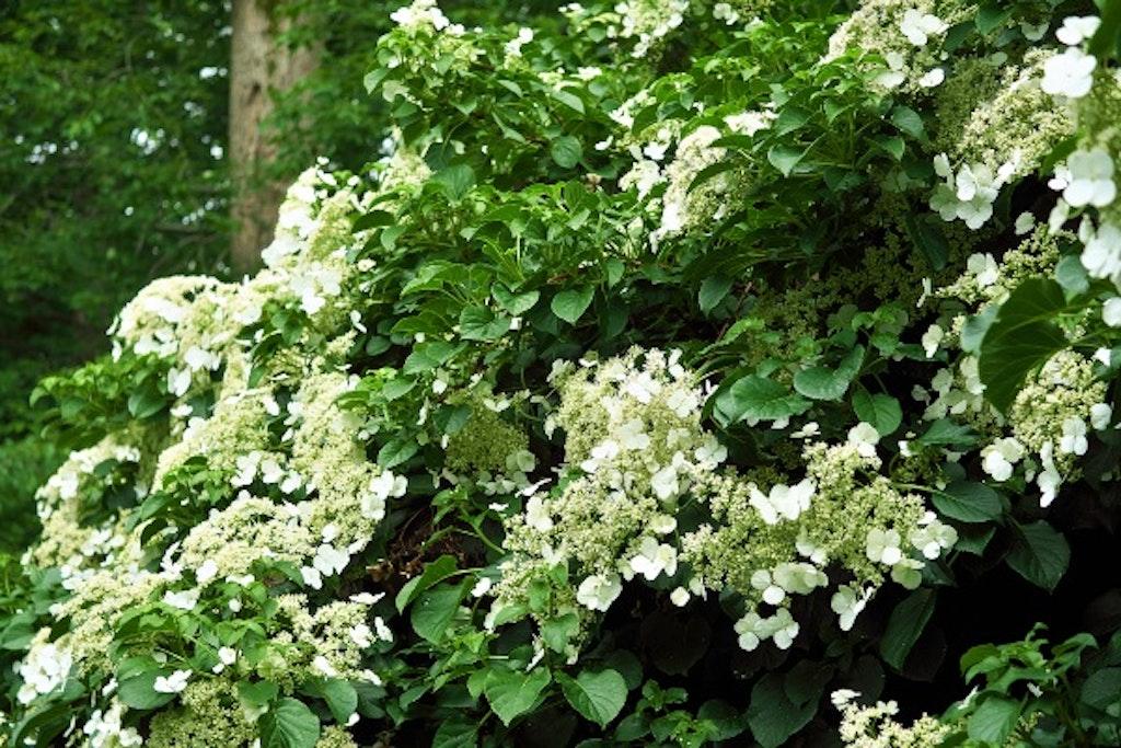 Klatre hortensia