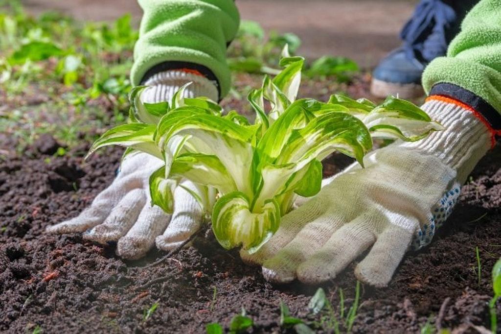Hosta bliver plantet