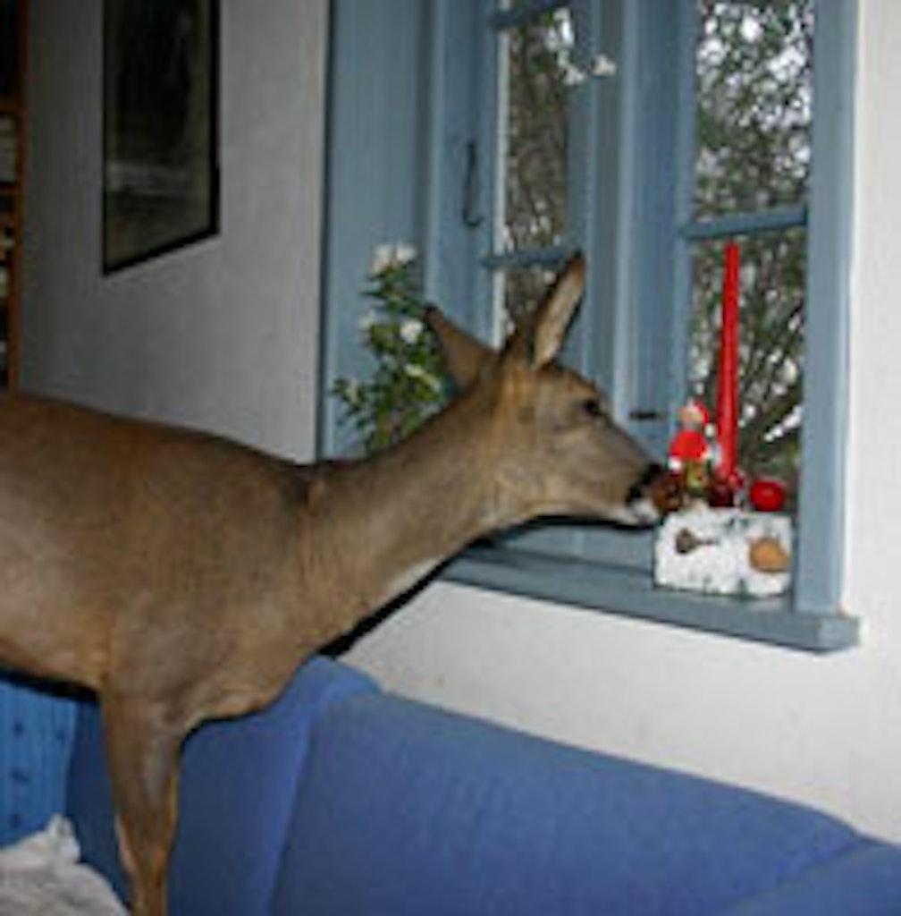 Rådyr stikker næsen i vindueskarmen