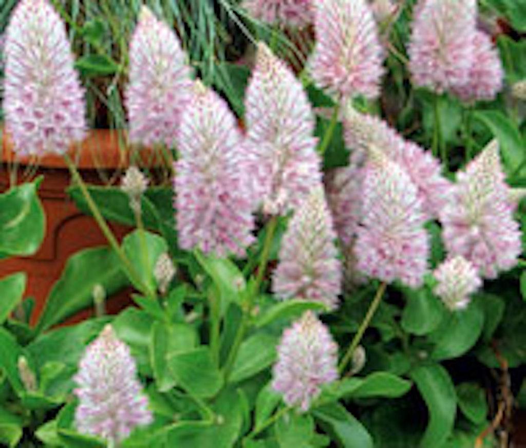 Silkehale er en anderledes krukkeplante