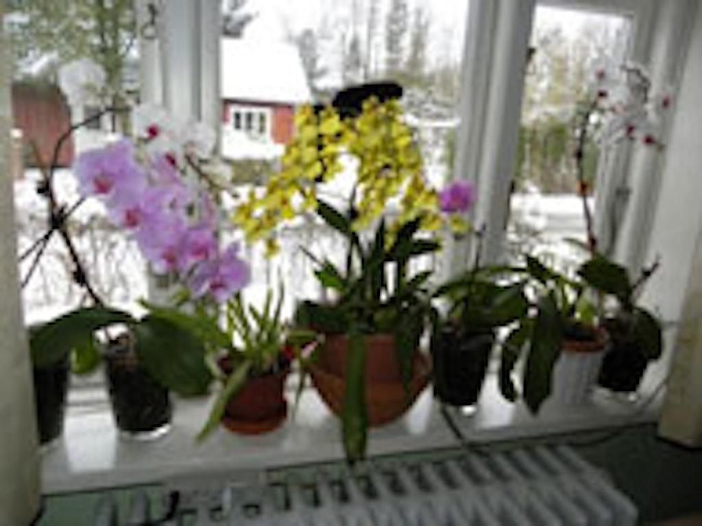 Vindueskarmen er fyldt med orkideer